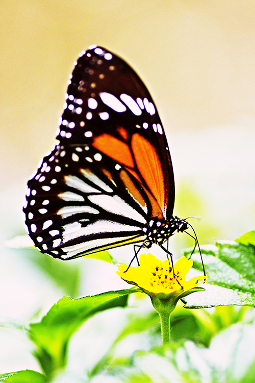 Spiritual meaning of butterfly